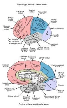 Lateral and medial surfaces of cerebrum, showing m