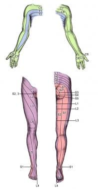 Dermatomes of the extremities.