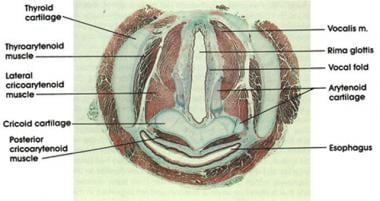 Cross-sectional histological anatomy of the vocal