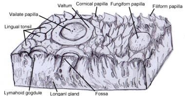 Circumvallate papilla with surrounding trench.