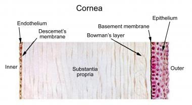 Illustration depicting the layers of the human cor