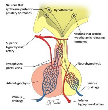 Vasculature of pituitary gland. Adenohypophysis an