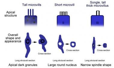 Diagram depicting the types of cells of the taste