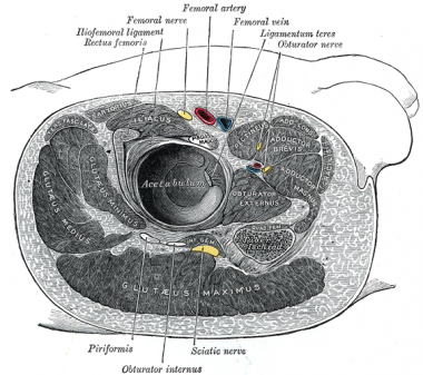 Cross-section at hip, showing locations of femoral