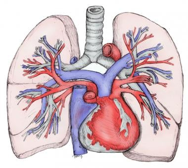 Pulmonary artery and vein in relation to airways a