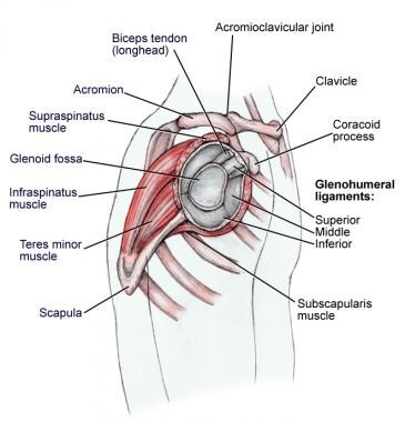 Shoulder anatomy, lateral view.