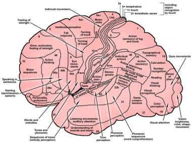 Functional localization within cerebral cortex.