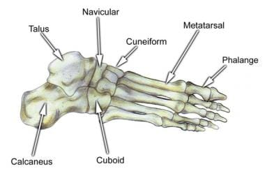 Bones of the foot, larger lateral view.