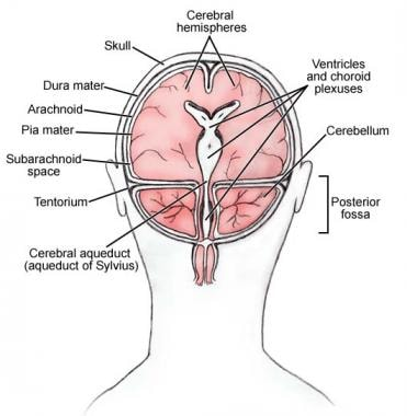 Meninges and ventricles of the brain.
