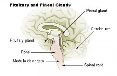 Drawing showing the anatomy of the pineal gland an
