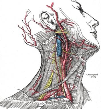 Dissection of the side of the neck showing the maj