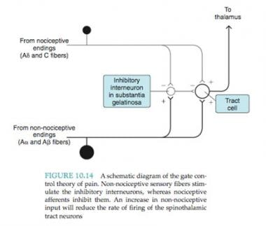 A schematic diagram of the gate control theory of