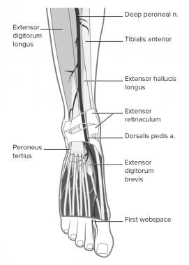 Deep peroneal nerve and adjacent structures.