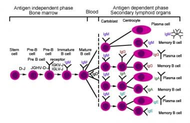 B cell maturation pathway.