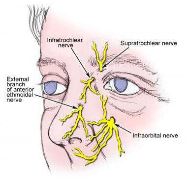 Innervation of the external nose.