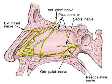 Innervation of the nasal cavity.