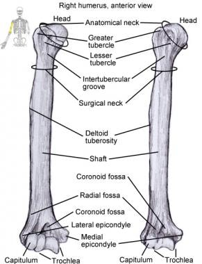 Humerus. This is sole bone of upper arm and has bo