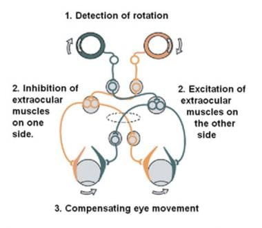 The vestibulo-ocular reflex. A rotation of the hea