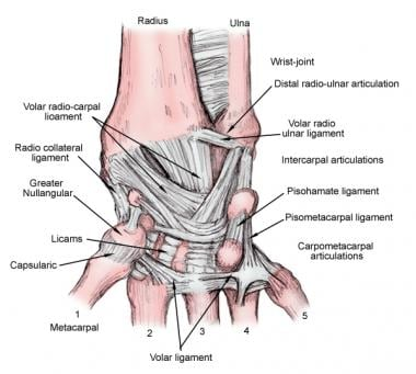 Ligaments of the wrist, dorsal view.