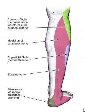 Sural nerve dermatome at the level of the posterio