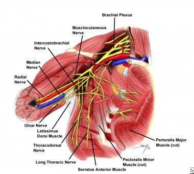 Relationship of arteries, veins, and nerves from t