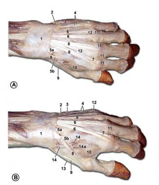Muscles and tendons of the dorsum of the left hand