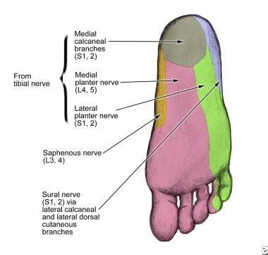 Sural nerve dermatome at the level of the sole of