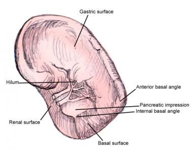 Spleen anatomy. This image shows different surface