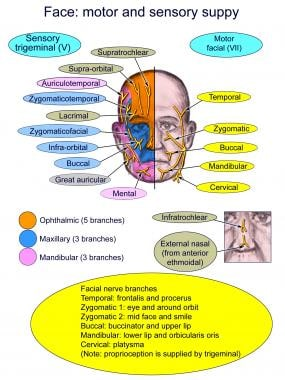 Diagram of the sensory and motor supply of the fac