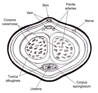 Cross-sectional anatomy of the penis.