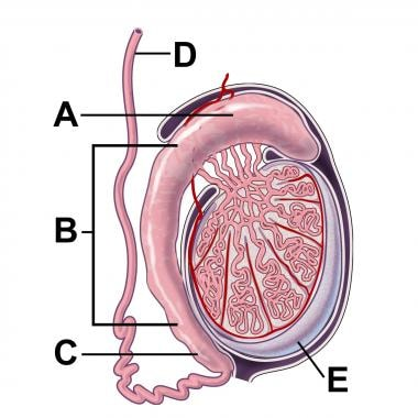 Cross-section illustration of a testicle and epidi