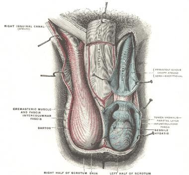 Layers of the scrotum.