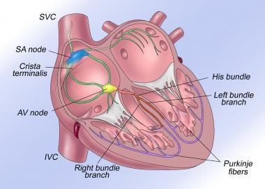Illustration of normal conduction system.