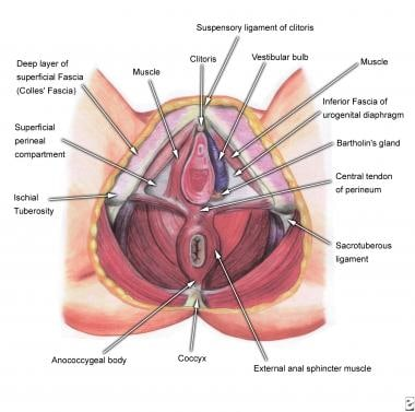 Deep perineal structures.