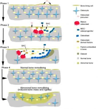 Diagram depicting tight coupling of osteoblast and