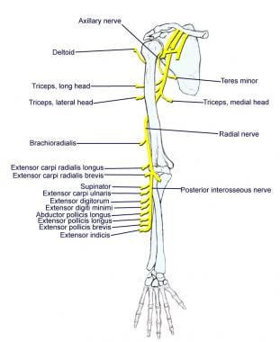 Axillary and radial nerves.