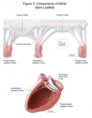 Components of the mitral valve leaflets.