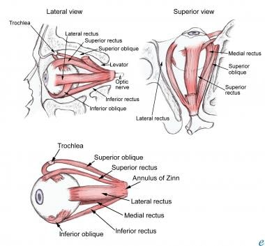 Extraocular muscle anatomy.