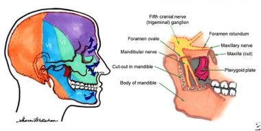 Anatomy of the fifth cranial nerve ganglion (trige