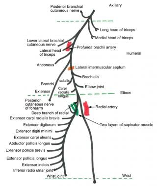 Course of the radial nerve.