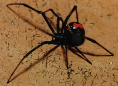 Female redback spider showing a distinctive red st