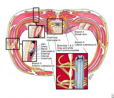 Anatomy of intercostal nerves (cross-sectional vie