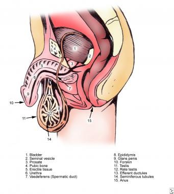 Male ductal anatomy.