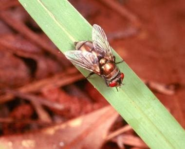 The bronze bottle blow fly (Lucilia cuprina [forme