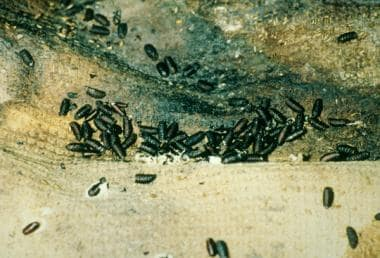 Pupae and pupal casings may be found away from the