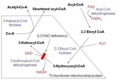 Schematic demonstrating mitochondrial fatty acid b