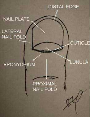 Nail surface anatomy.