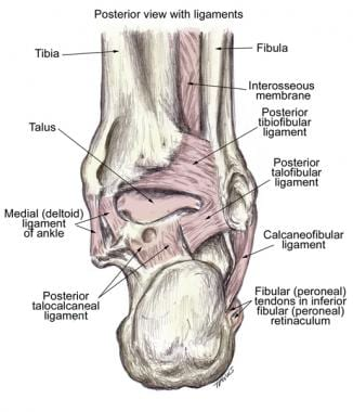 Posterior view of the ligaments of the ankle.