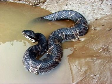 Snake envenomations, moccasins. Cottonmouth or wat