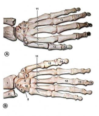 Bones of the left hand. A is the dorsal view, and